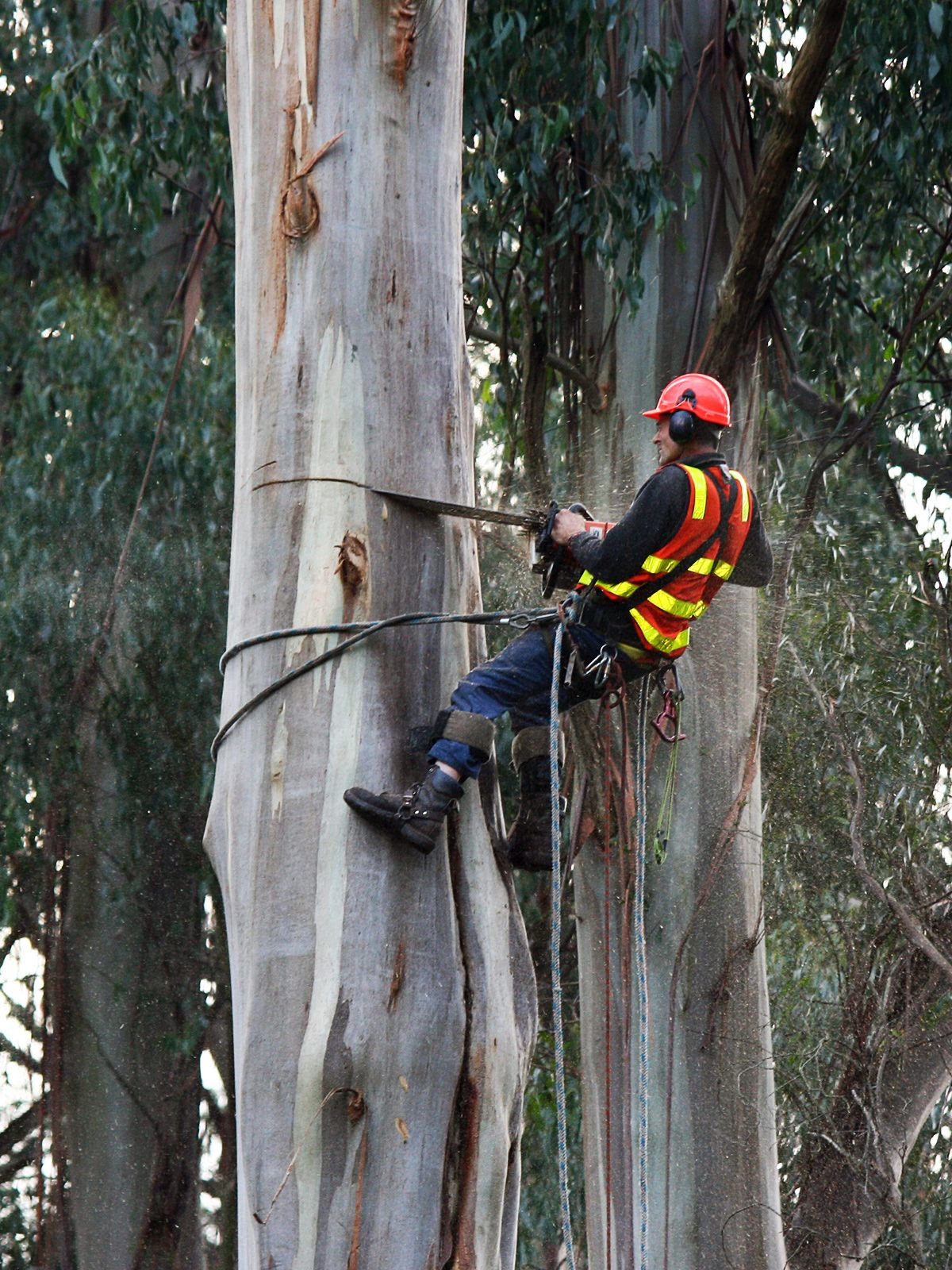 Arboriculture Wikipedia Arborist