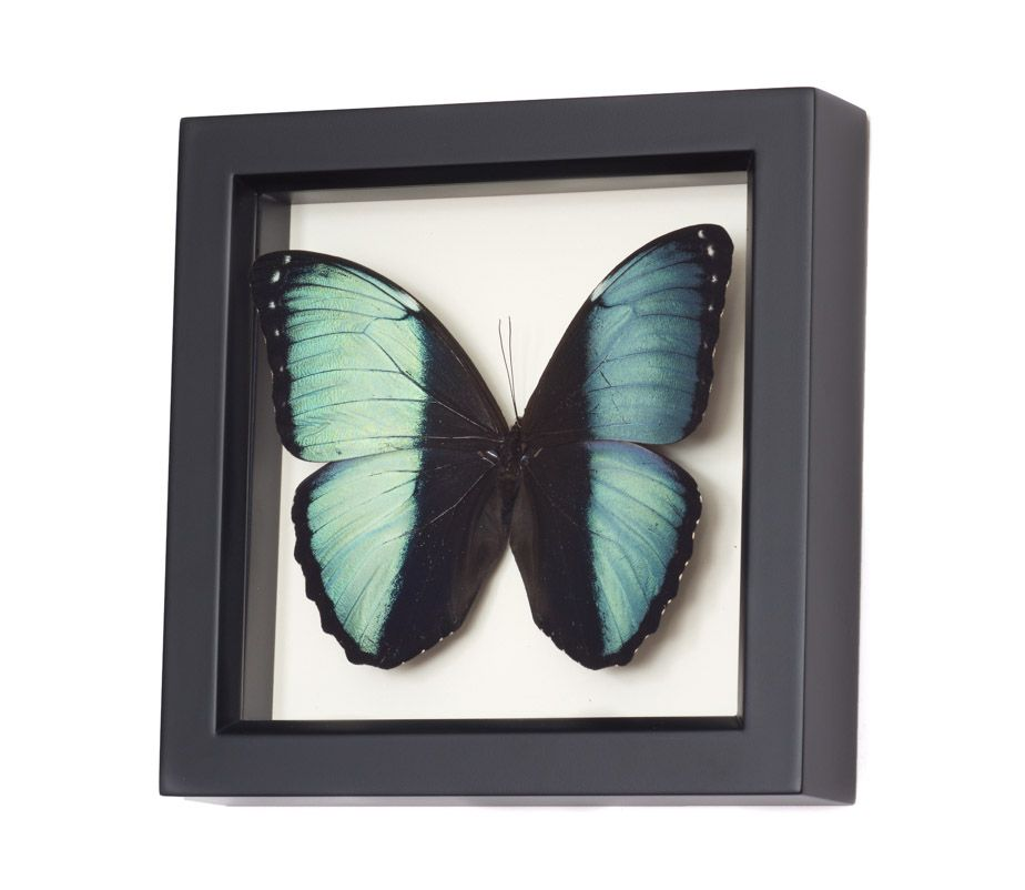 """COMMON NAME: Achilles Morpho Butterfly  SPECIES: Morpho achilles  LOCALITY: South America  FRAME SIZE: 6"""" x 6"""" x 1.25""""  FRAME COLOR: pick from BLACK, WHITE, OR DARK WALNUT.  MUSEUM QUALITY SHADOWBOX: UV blocking conservation glass, gallery style frames, archival papers. Also comes with interesting natural history information about species and 6x6 frame sizes include gift box.    See why our insect frames are the TOP CHOICEof interior designers, museums and customers."""