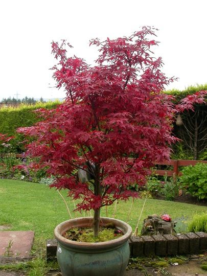 I Have An Acer Palmatum Skeeter S Broom Grows On You Potted Plants Outdoor Potted Trees Small Japanese Garden