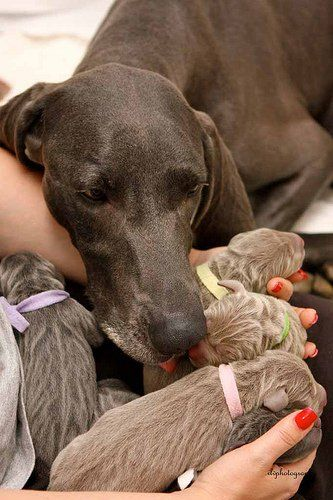 What A Beautiful Family Pregnant Dog Newborn Puppies Weimaraner Puppies