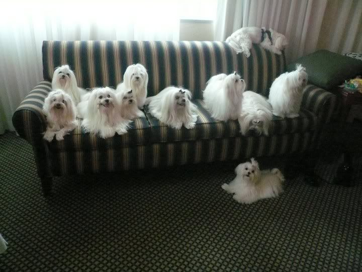 You can never have too many Maltese dogs!