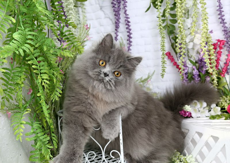 Noodle Solid Blue Persian Kitten For Sale Persian Kittens For
