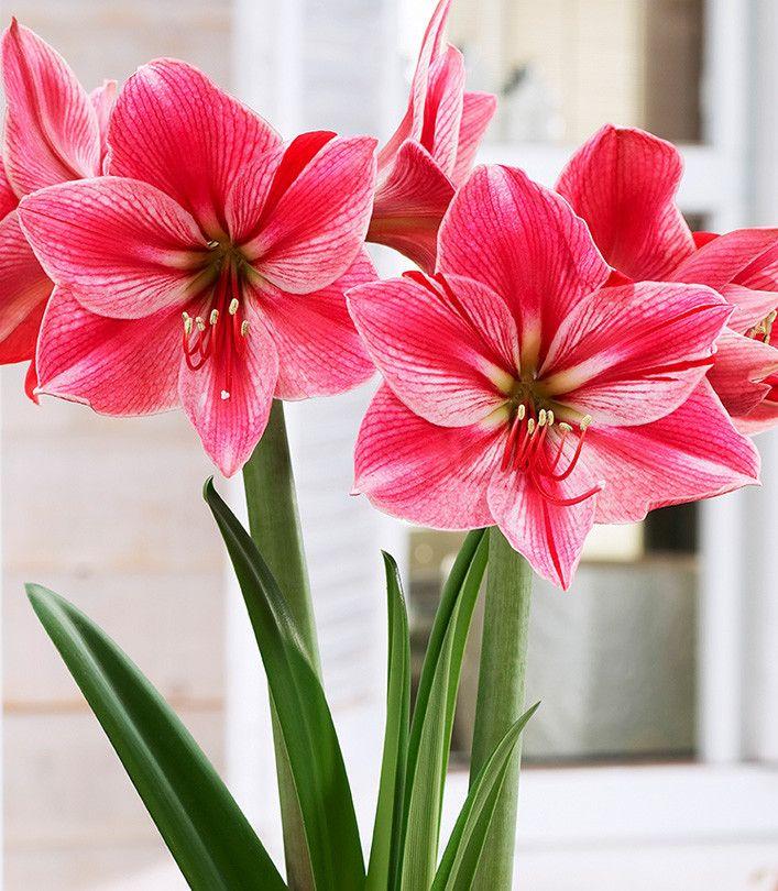 Amarylis Hippeastrum Gervase 1 Szt Spring Flower Bulbs Amarylis Amaryllis Bulbs Amaryllis Spring Flowering Bulbs