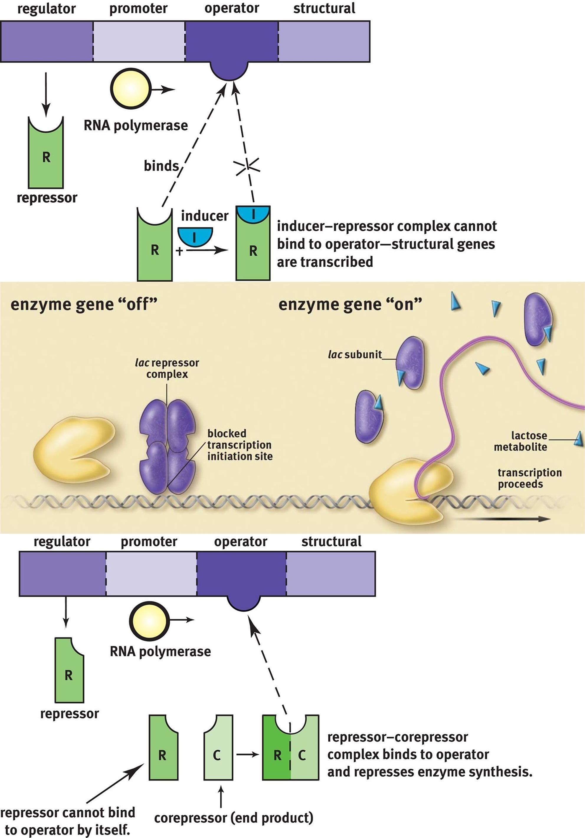 Imp Prokaryotic Regulation Picture Summary Jacob Monod Operon Model And Operon Systems Transcription Coding System