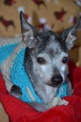 Adopt Poppy On Chihuahua Dogs No Kill Animal Shelter Chihuahua Mix
