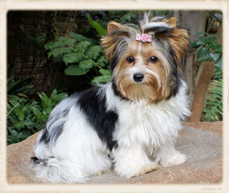 Biewer Terrier Eljemelo Yorkies Biewer Terriers We Breed Um