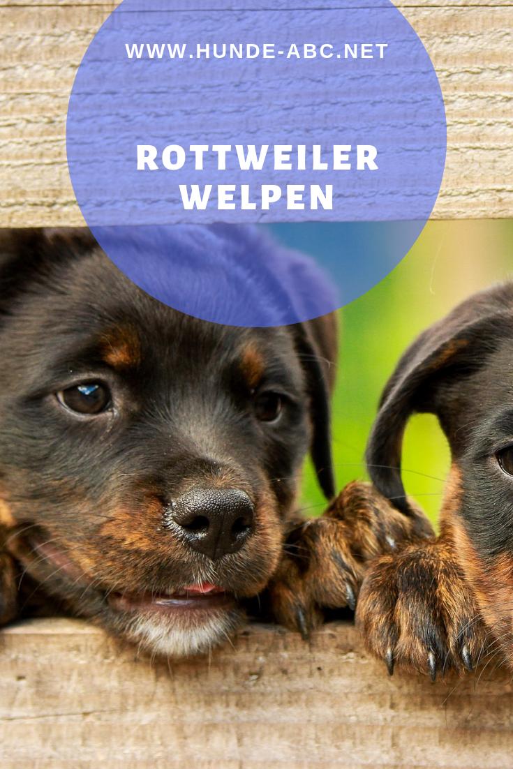Rottweiler Welpen ein Hundebaby kommt ins Haus (mit