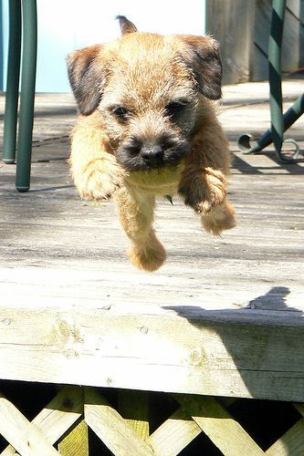 Border Terrier Pup At Play Border Terrier Puppy Terrier