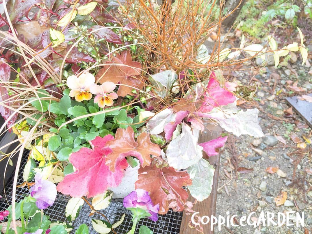 そろそろ紅葉も終わりです。 寄せ植えはまだまだ楽しめます。 #CoppiceGARDEN #nasu_town #那須 #寄せ植え #ビオラ  #シロタエギク #ヒューケラ #アンティーク #ガーデン #garden