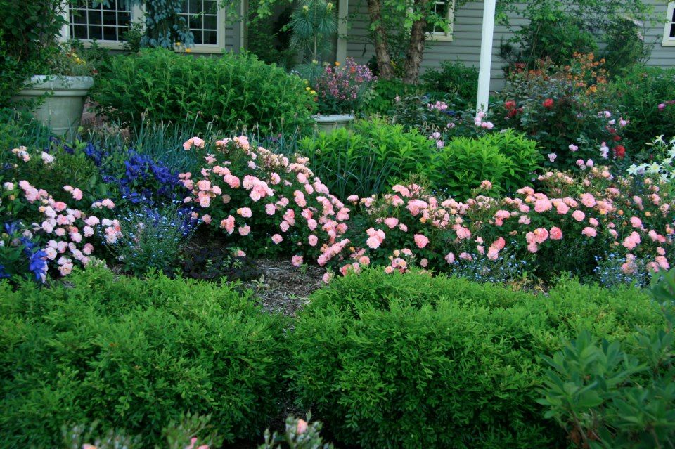 Peach Drift 174 Takes Center Stage Accented By Clematis