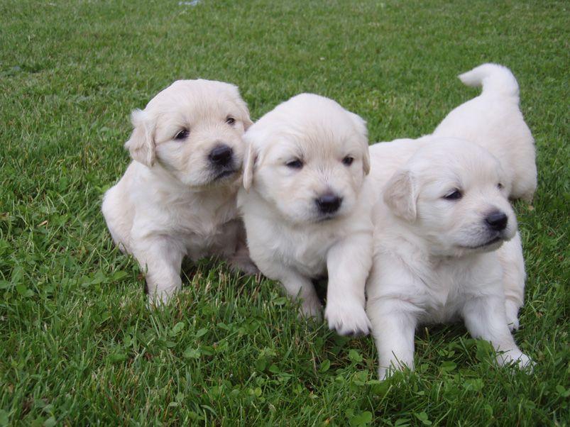 Golden Retriever Puppies 3 Puppies Golden Retriever Puppies