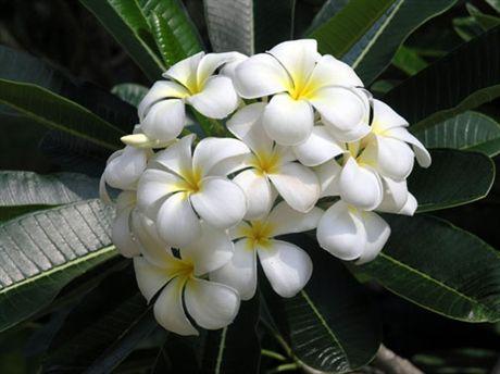 Plumeria Frangipani Hawaiian Lei Flower Plumeria