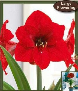 2 Amaryllis Red Lion Hippeastrum Large Flowering Red Lion Two Flower Bulbs A Cluster Of Flowers Up To Bulb Flowers Amaryllis Christmas Gift Decorations