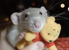 All About Syrian Teddy Bear Hamster Cute Rats Bear Hamster
