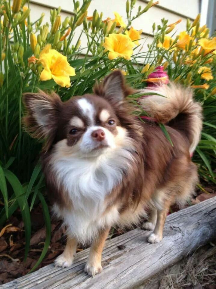 Popular Colors And Markings Of Chihuahua Dogs Dog Breeds