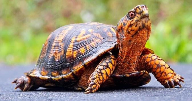 Ngủ mơ thấy rùa là điềm báo gì? là điềm lành hay dữ ? Rùa là loài