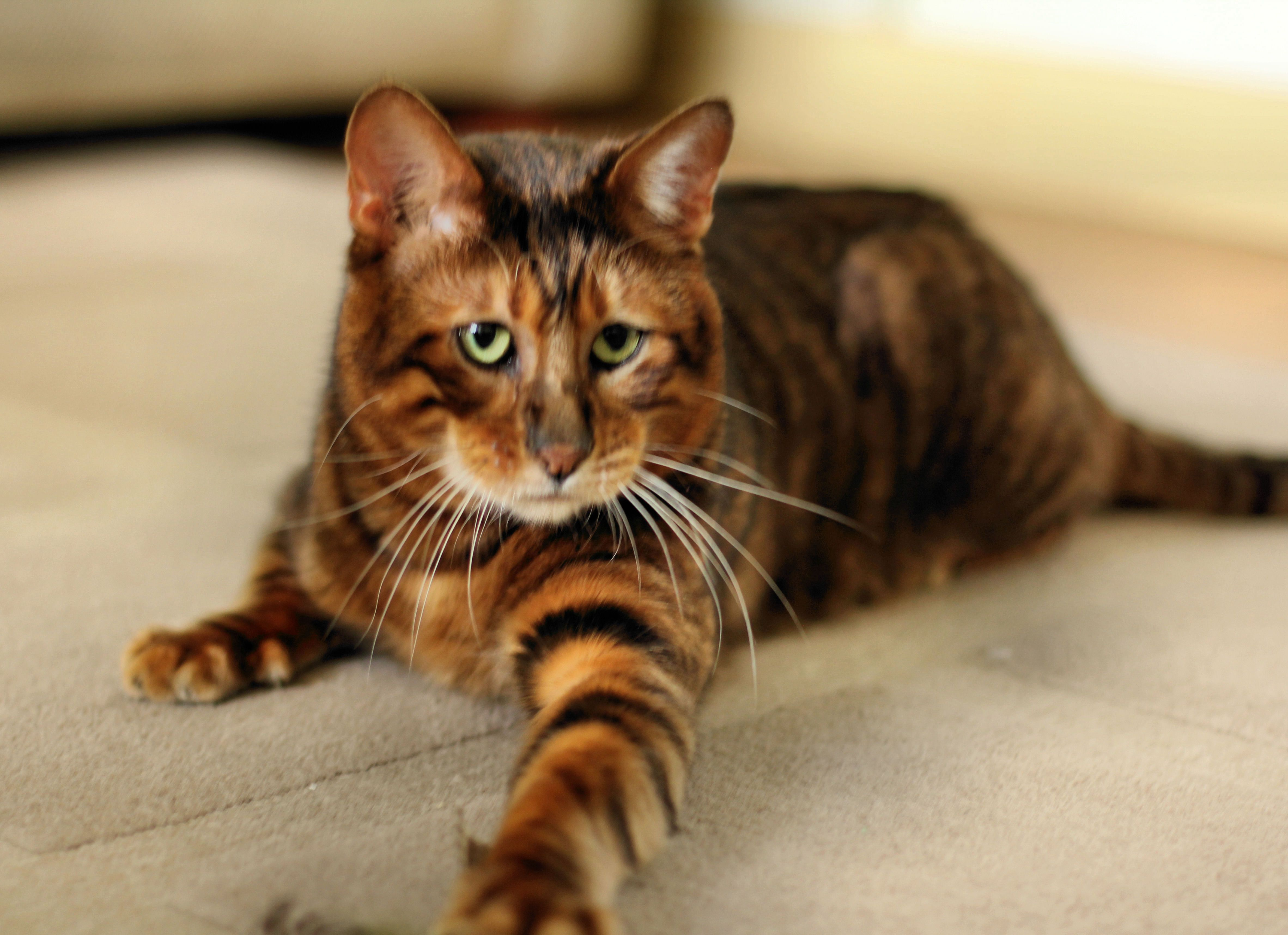 Toygers e The Cutest Cat Breeds Ever