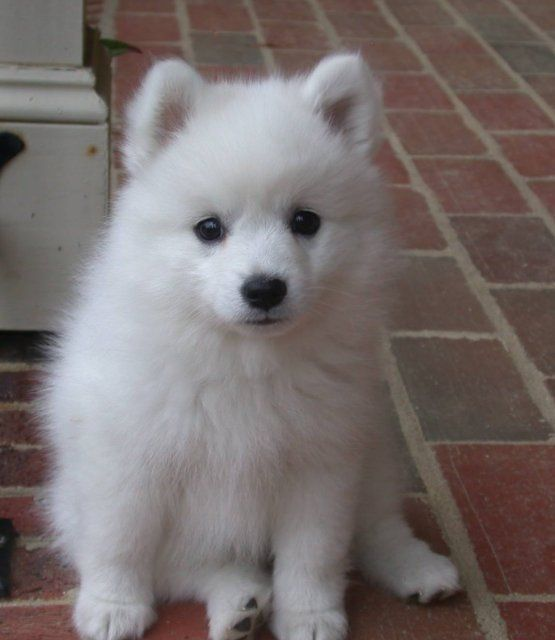 Japanese Spitz Puppy So Adorable Looks And Sits Just Like My
