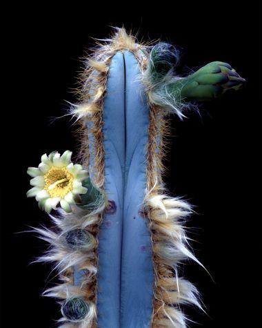 #PilosocereusSergipensis #BlueCactus #cactus #cactuses #cacti #FloweringCactus #flowers #floral