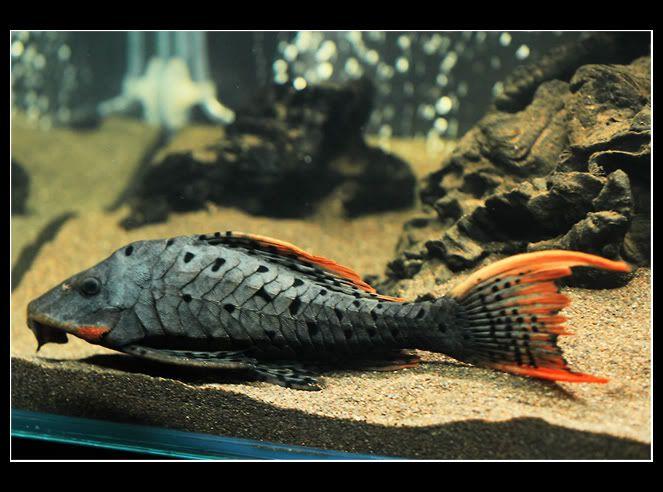 My Pleco L095 Aquarium Catfish Pet Fish Tropical Fish Aquarium