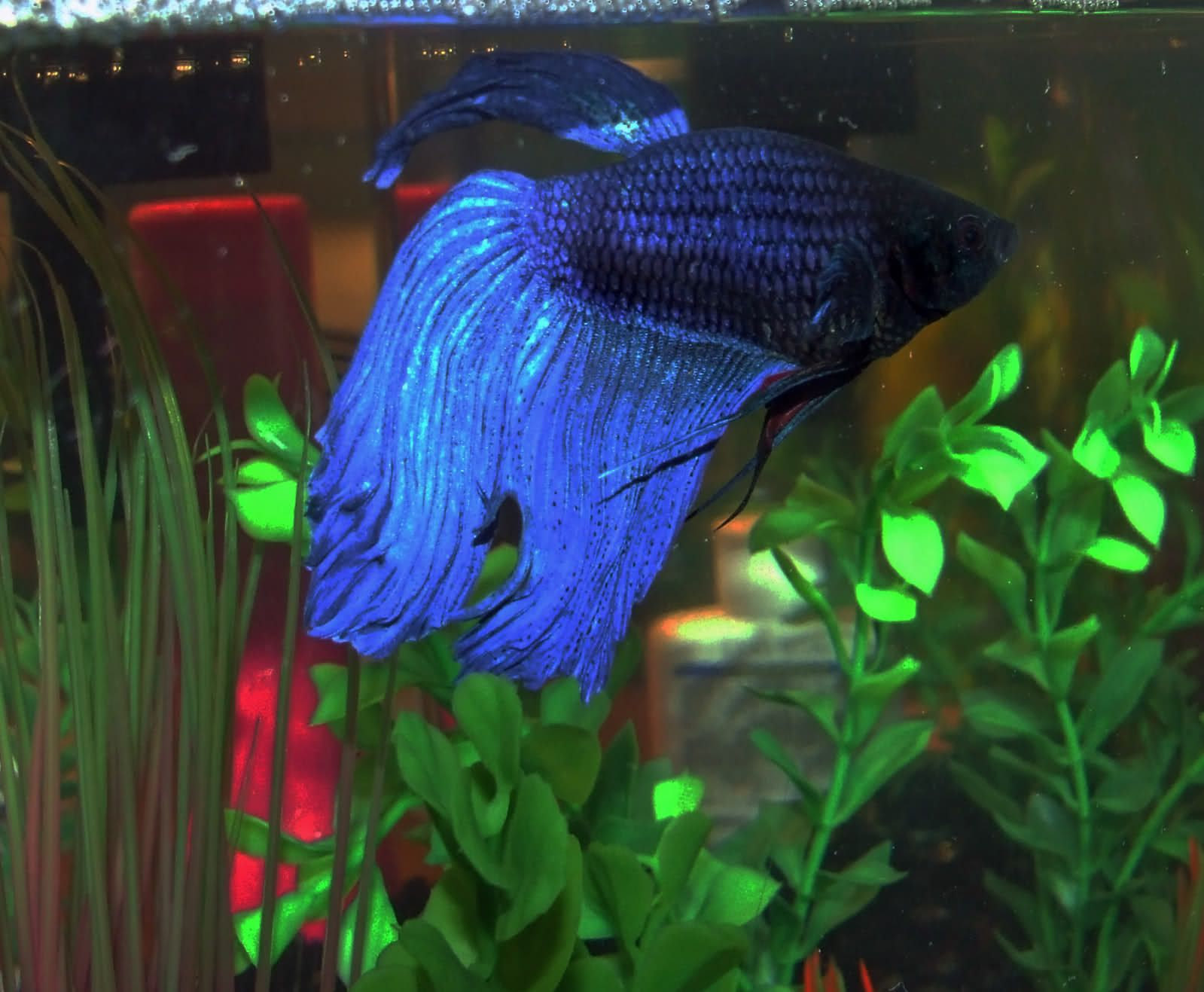Top 15 Beautiful Types of Betta Fish with Amazing Pictures | Betta ...