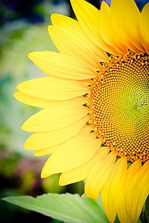 S u n f l o w e r s | Sunflower, Sunflowers and daisies ...