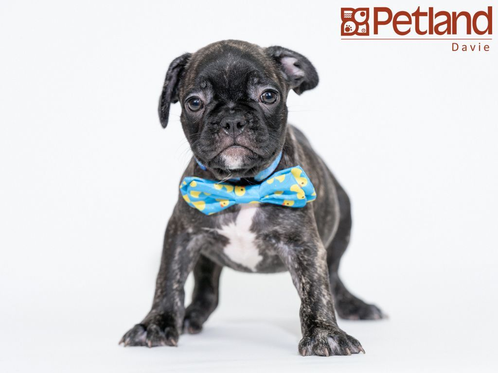 Petland Florida Has French Bulldog Puppies For Sale Check Out All