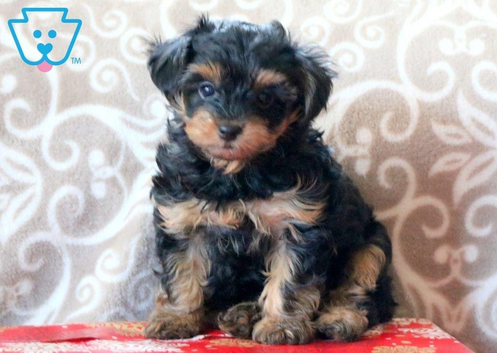 Tigger Cute Animals Puppies Yorkie Poo Puppies Pitbull Dog Puppy