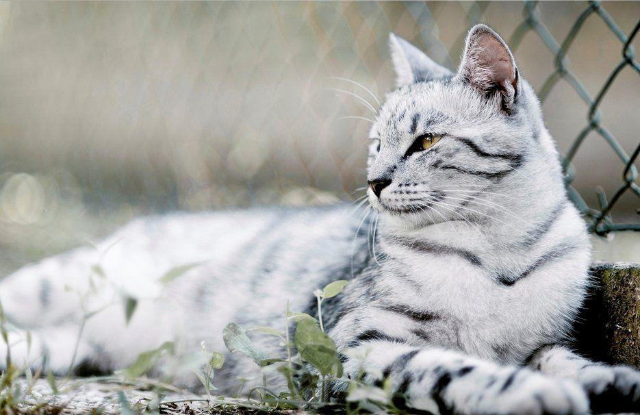 Résultats de recherche d'images pour «chat blanc tigré»