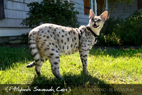 Frosting Silver F1 Savannah Cat Cats And Kittens Cute Baby Animals Cat Breeds