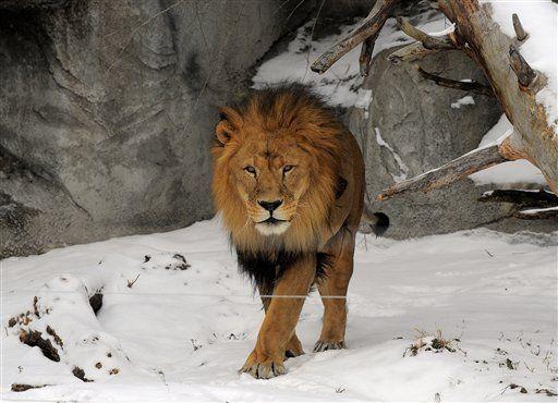 Detroit Zoo Lion Jpg Detroit Zoo Zoo Animals