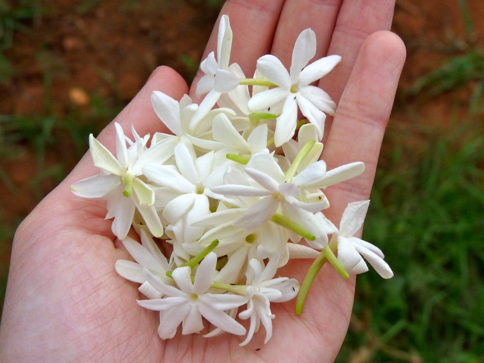 Jasmine Beautiful flowers, Flower arrangements, Flowers