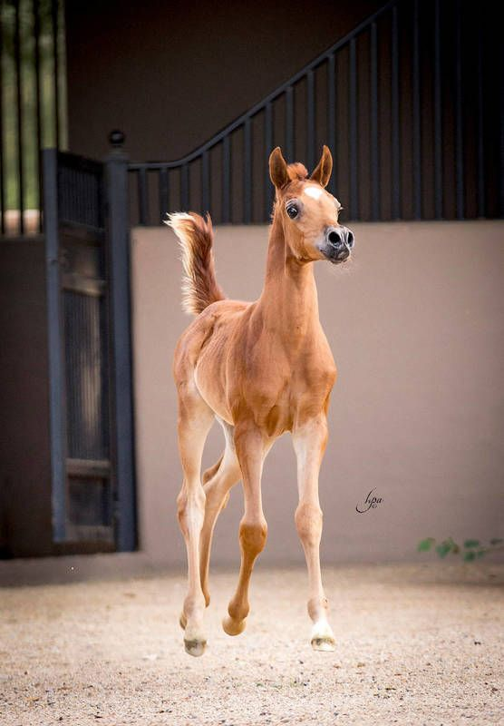 Aviva SD (EKS Alihandro x Vivatious) 2015 chestnut filly