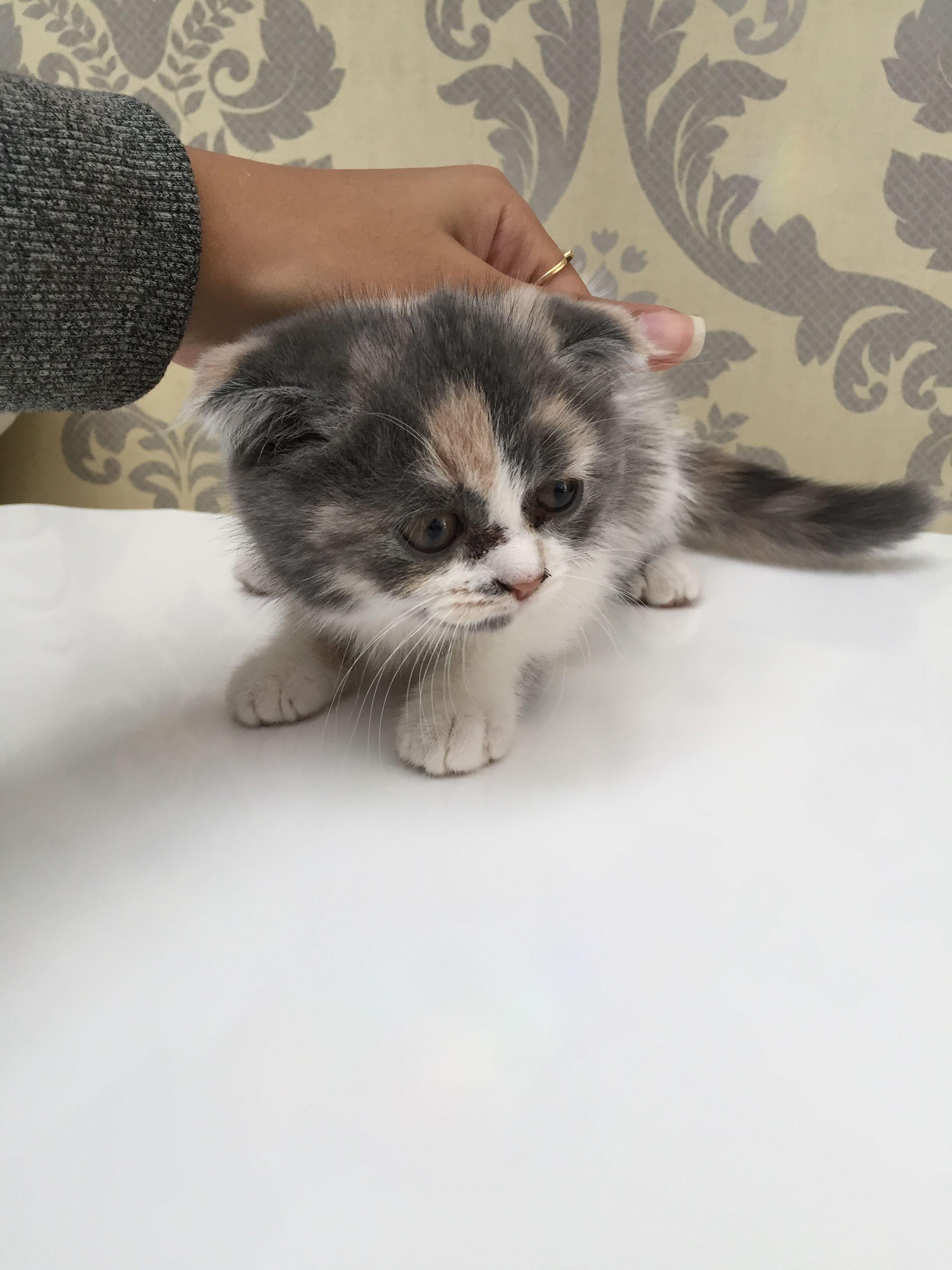 British cat for sale in uae