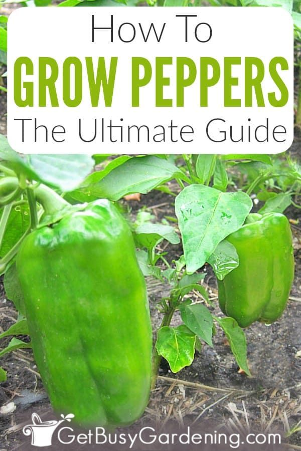 How To Grow Peppers: The Ultimate Guide - Get Busy Gardening