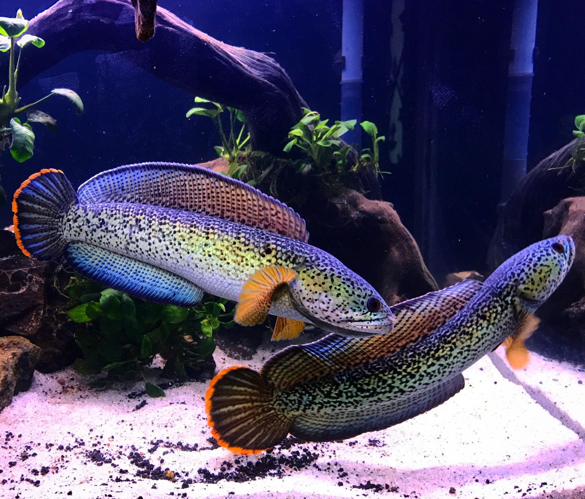 Pair Of Channa Barca Ikan Akuarium Ikan Tropis Ikan Eksotis