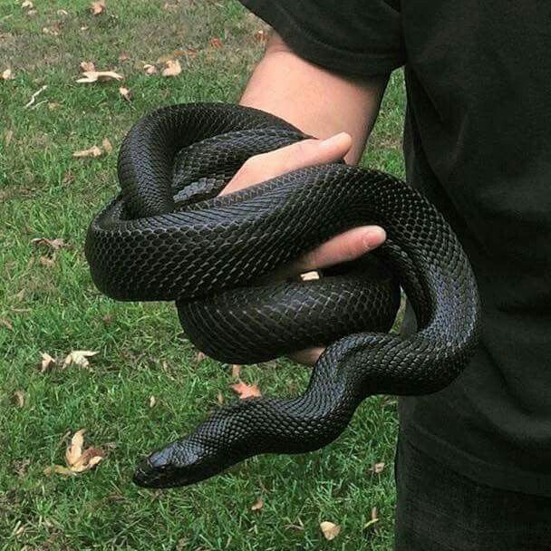 36 Mexican black king snake ideas | snake, mexican black kingsnake, beautiful snakes
