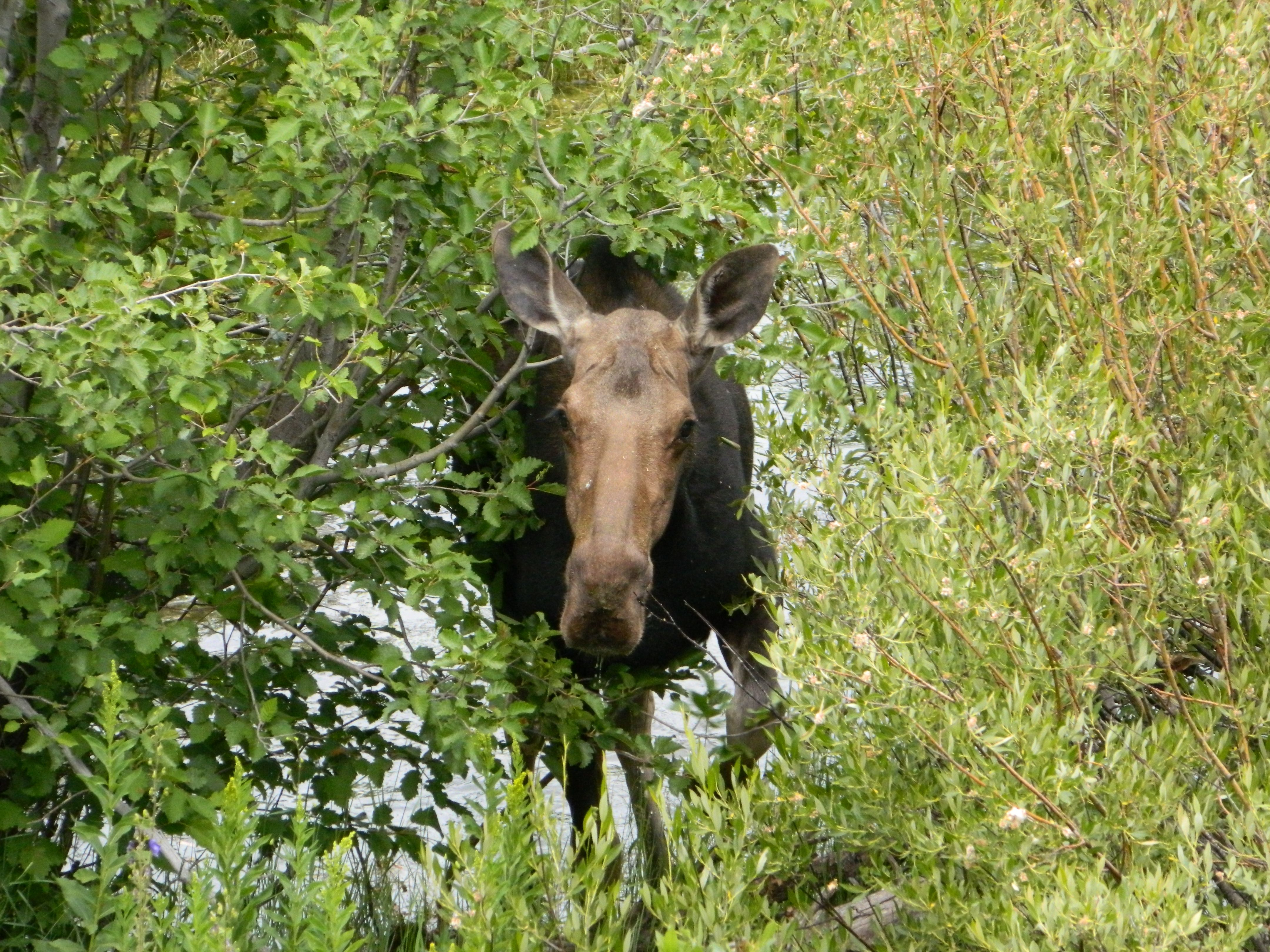 Ahhh the moose! 2011
