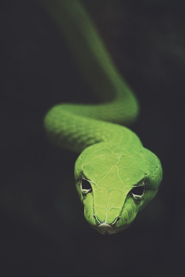 Apple Green. #animal #fauna #snake
