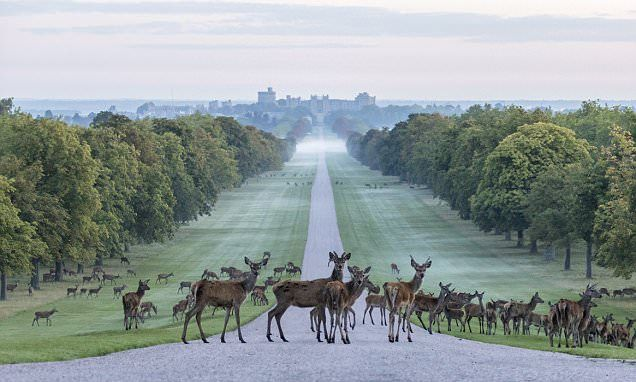 Stags, hinds and fawns can be seen making the most of the early morning peace on the magnificent Long Walk at Windsor Great Park, which runs for more than two and a half miles.
