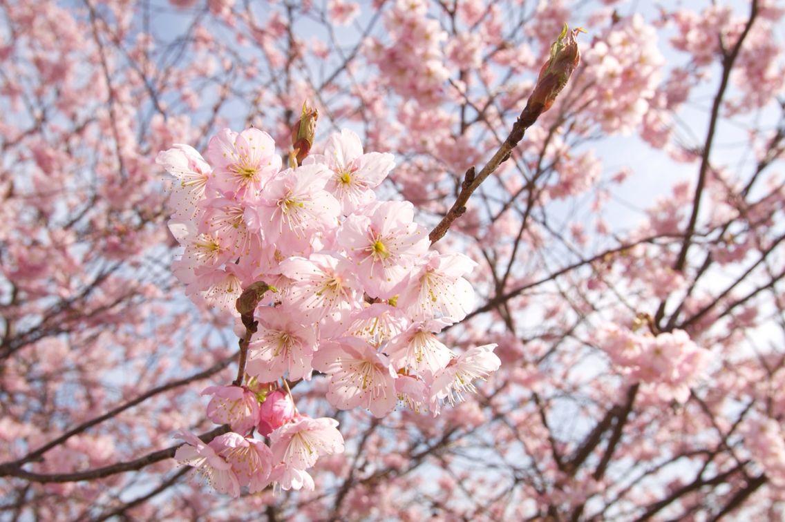 近所で咲いてる桜