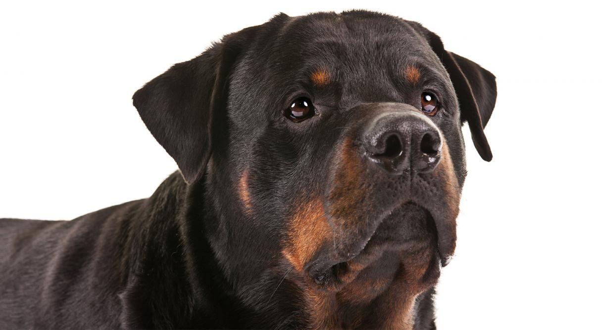 Rottweiler Dog Breed Information Rottweiler Puppies Rottweiler Rottweiler Dog