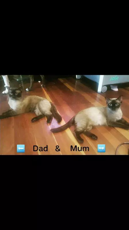 Ragdoll x Siamese Kittens Cats & Kittens Gumtree