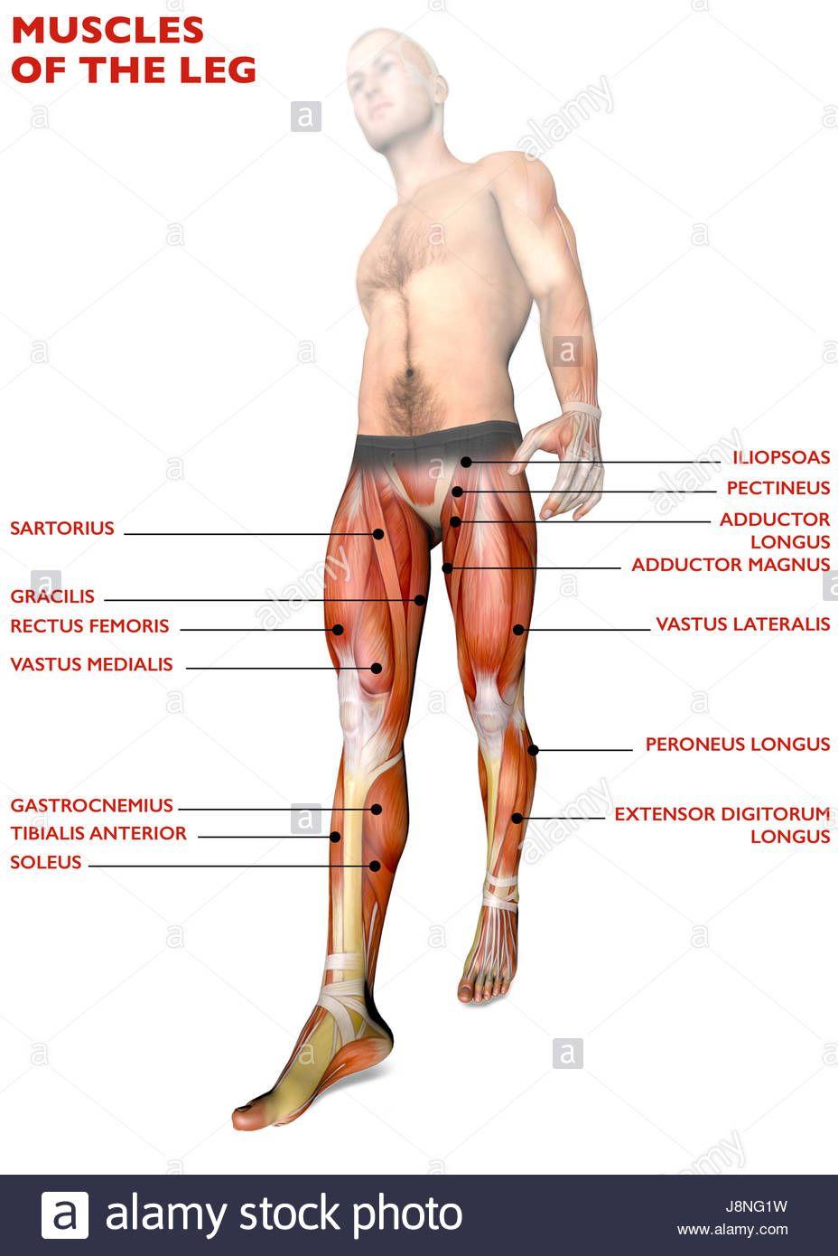 Leg Muscles Name Anatomy Note World Pinterest Leg Muscles