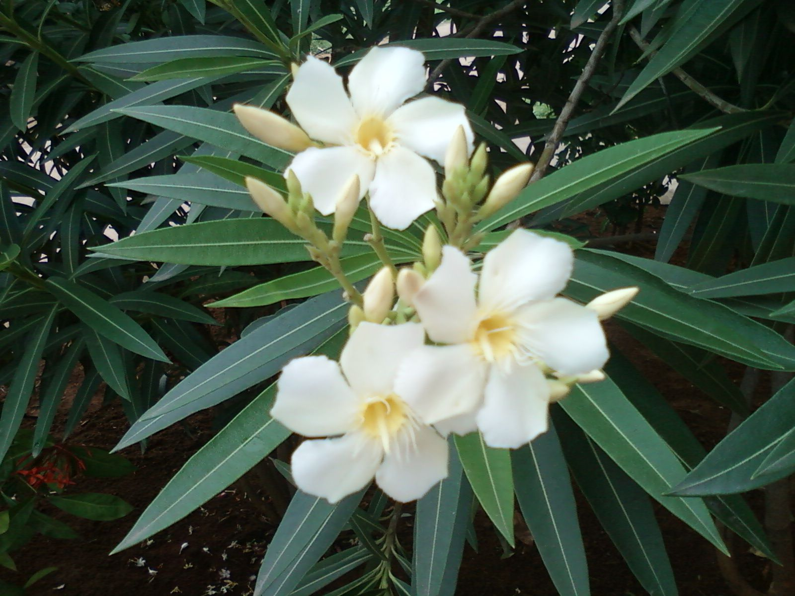 Image result for oleander white