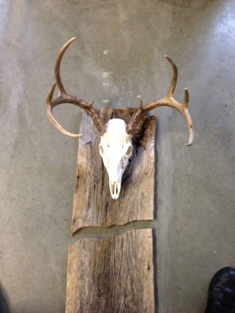 Deer skull mount ideas - European Mounted Deer