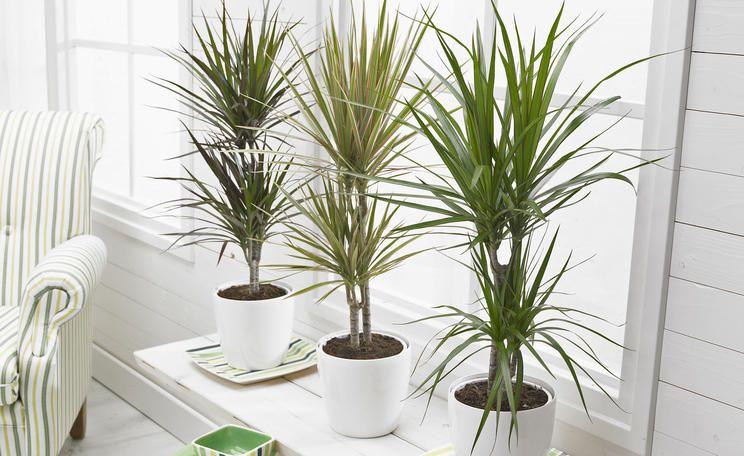 Drachenbaum Vermehren So Einfach Geht S Christmas Crafts For Kids Balcony Garden Plants