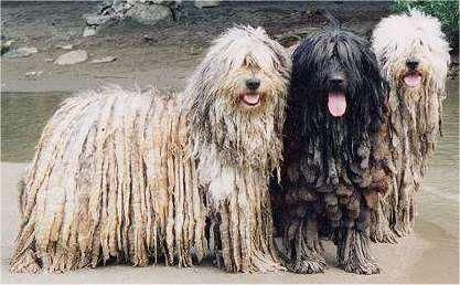 Bergamasco Shepherd Also known as the Cane da Pastore Bergamasco, or the Shepherd of the Alps, the Bergamasco's coat has a wool-like texture that causes the hair to form felt like dreadlocks. They will grow for the entire duration of the dog's life, and acts much in the same way as the coats of the sheep they protect. http://www.akc.org/breeds/bergamasco/did_you_know.cfm