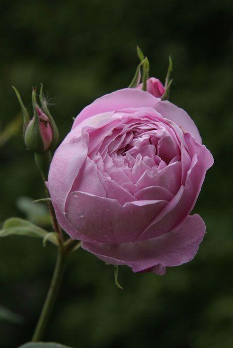 Bourbon Rose Rosa Reine Victoria France 1872 ก หลาบส ชมพ