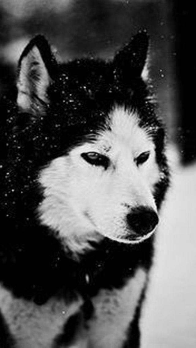 Black Wolf Wallpaper Iphone 6 Archidev